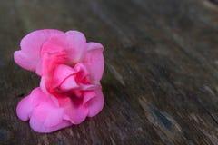 Flor completa Rose Balsam foto de stock