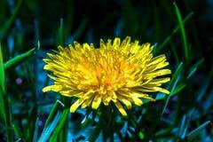 Flor completamente desarrollada del diente de león en el sol fotografía de archivo