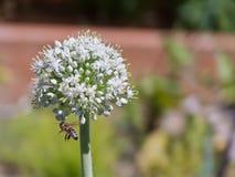 Flor completamente florecida del puerro con la abeja Fotos de archivo libres de regalías