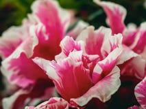 Flor comum da peônia do rosa e do branco imagens de stock royalty free