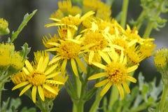Flor comum do Ragwort Imagens de Stock Royalty Free