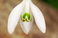 Flor comum do snowdrop do branco Foto de Stock Royalty Free