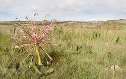 Flor comum dos candelabros. Imagem de Stock Royalty Free
