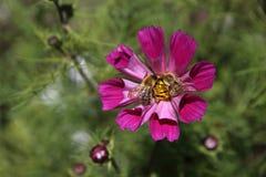 Flor con dos abejas Fotografía de archivo