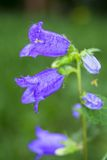 Flor con el flor violeta de las campanas fotografía de archivo libre de regalías
