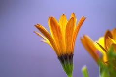 Flor con el ste verde y azul Imagen de archivo