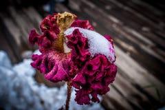 Flor con hielo Imagen de archivo libre de regalías