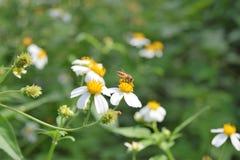 Flor con la abeja Imagen de archivo libre de regalías