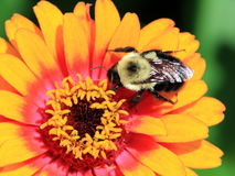 Flor con la abeja en ella macra Fotos de archivo libres de regalías