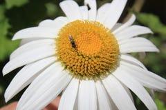 Flor con la abeja que busca el polen Imagen de archivo libre de regalías