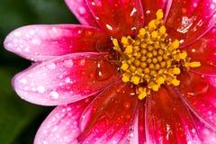 flor con la gota del agua fotos de archivo