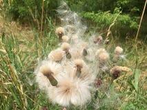 Flor con la semilla imágenes de archivo libres de regalías