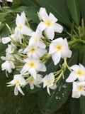Flor con las hojas, Costa Rica del Plumeria Fotos de archivo libres de regalías