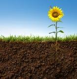 Flor con las raíces Foto de archivo libre de regalías