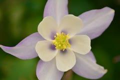 Flor con los pétalos blancos y púrpuras Foto de archivo libre de regalías