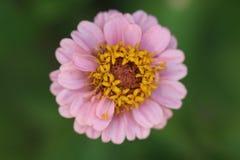 Flor con los pétalos rosados e interno amarillo Fotos de archivo libres de regalías