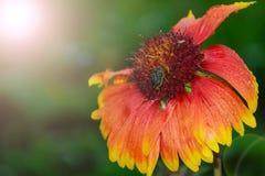 Flor con un escarabajo en el centro del verano con rocío Fotos de archivo libres de regalías