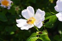 Flor con una abeja Fotos de archivo