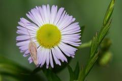 Flor con una semilla de girasol Fotografía de archivo libre de regalías