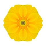 Flor concéntrica amarilla de la primavera aislada en blanco. Mandala Design Fotografía de archivo