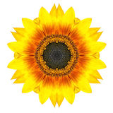 Flor concéntrica amarilla del girasol aislada en blanco. Mandala Design Imagenes de archivo