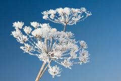 Flor congelada Fotos de Stock Royalty Free