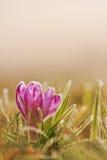 Flor congelada do açafrão na flor da mola da geada na natureza com delicado Fotografia de Stock