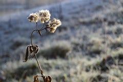 Flor congelada, grama congelada no fundo imagem de stock royalty free