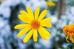 Flor congelada na neve Fotografia de Stock Royalty Free