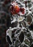 Flor congelada Rosa na geada Foto de Stock