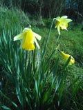 Flor consideravelmente amarela Imagens de Stock Royalty Free
