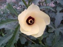 Flor consideravelmente amarela do ladyfinger Imagem de Stock
