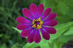 Flor consideravelmente cor-de-rosa Imagens de Stock Royalty Free