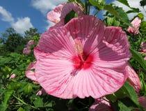 Flor consideravelmente cor-de-rosa do hibiscus do verão fotos de stock