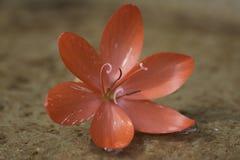 Flor consideravelmente vermelha Fotos de Stock