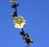 Flor contra el cielo azul Fotografía de archivo libre de regalías