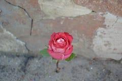 Flor contra la pared Imagen de archivo