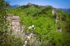 Flor contra la perspectiva de la Gran Muralla de China Fotos de archivo