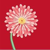 A flor cor-de-rosa é áster de encontro ao fundo vermelho Foto de Stock