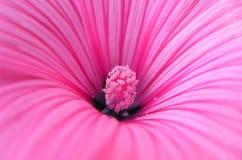 A flor cor-de-rosa Fotografia de Stock Royalty Free