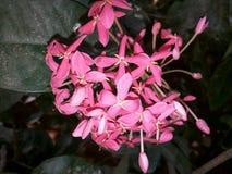 Flor cor-de-rosa fotografia de stock royalty free