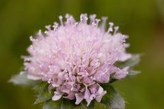 Flor cor-de-rosa Imagem de Stock