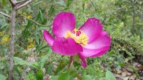 Flor cor-de-rosa Imagens de Stock