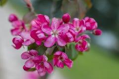 Flor cor-de-rosa Foto de Stock Royalty Free