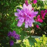 Flor cor-de-rosa Imagens de Stock Royalty Free
