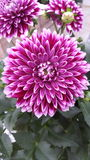 Flor cor-de-rosa Fotos de Stock Royalty Free