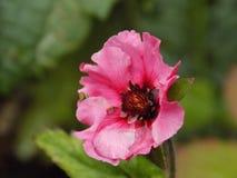 Flor cor-de-rosa fotos de stock