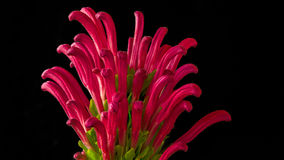 Flor cor-de-rosa 04 Fotos de Stock Royalty Free