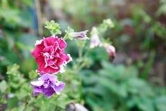 Flor cor-de-rosa agradável Fotos de Stock Royalty Free
