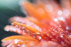 Flor cor-de-rosa alaranjada com gotas da água, fim acima com foco macio Imagens de Stock Royalty Free